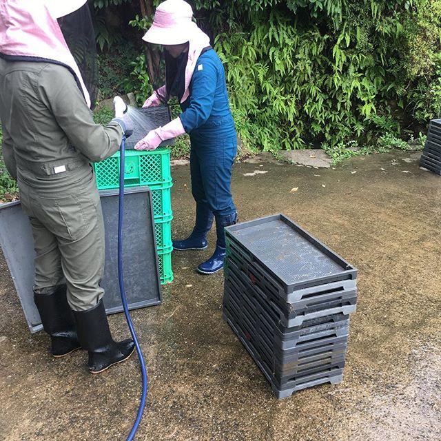 今日はものすごい暑い1日でしたね!!長女と三女は仕事休みで朝から農作業をしていたようです。使い終わった苗箱を洗っています。地道な作業ですが、来年の為にせっせと洗います(*´꒳`*)