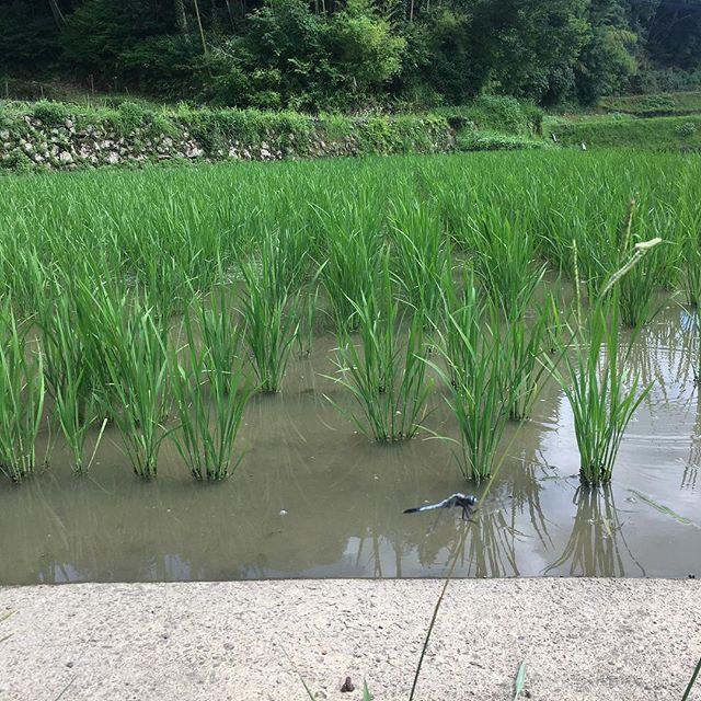 九州は台風の影響で雨、風続いております。YamamotoFarmのある佐賀はそこまでひどくはない状態ですが夕方にかけて最接近との事なので気をつけたいですね(^_^)先日日曜日の米の様子です。しばらく見ない間にものすごく伸びておりました(*´꒳`*)写真じゃ見えないですが、アメンボがたくさんいましたトンボも良い位置に止まってくれたので、シャッターチャンスと思いバッチリ撮れましたこだわりのお水を定期的に田んぼに入れています♪