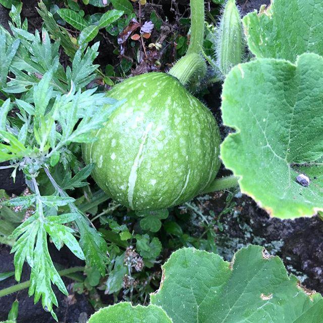 こちらは頼まれてるものではなく、普通のカボチャ。実がなるとテンション上がりますよね(^_^)そして、収穫が楽しみになります♪