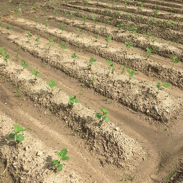 枝豆の種を蒔いていた所に綺麗に芽が出ています♪ここは三女管理の畑なのですが、耕運機で綺麗に整備しているので見た目も美しい