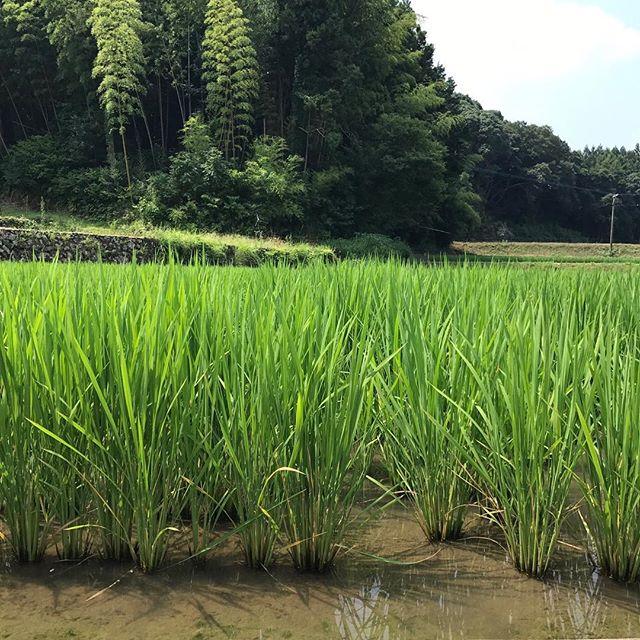 暑い日が続いてますが、こんなにも大きくなってきている稲