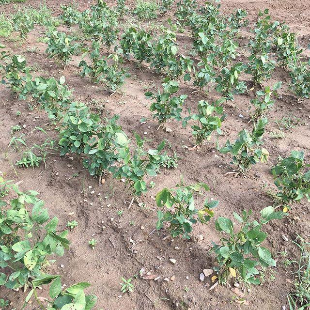 今年初めて三女が管理している大豆。先日行ったらなかなか育ってました。我が家は毎年冬に一年分の味噌作りをしているのですが、この大豆は我が家の味噌の原料になるくらい成長し収穫できるのでしょうか??乞うご期待