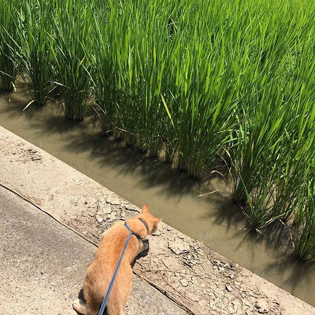 今日は三女が仕事休みで農作業。ペットの雷くんも一緒にw稲がだいぶ大きくなりました♪