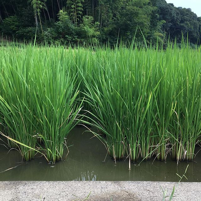 昨日、夕方田んぼに行ってきました。父は相変わらず定期的に入れるこだわりの水をタンクに入れて、田んぼに流していました久しぶりに自分の目で見てきたら、かなり成長していてビックリ